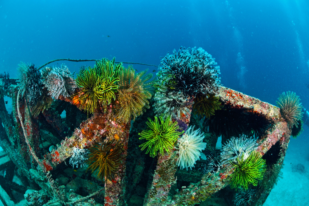 coforful feather star attach on artificial reef in Mabul kapalai Malaysia0