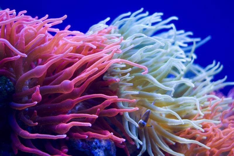 coralli rosa