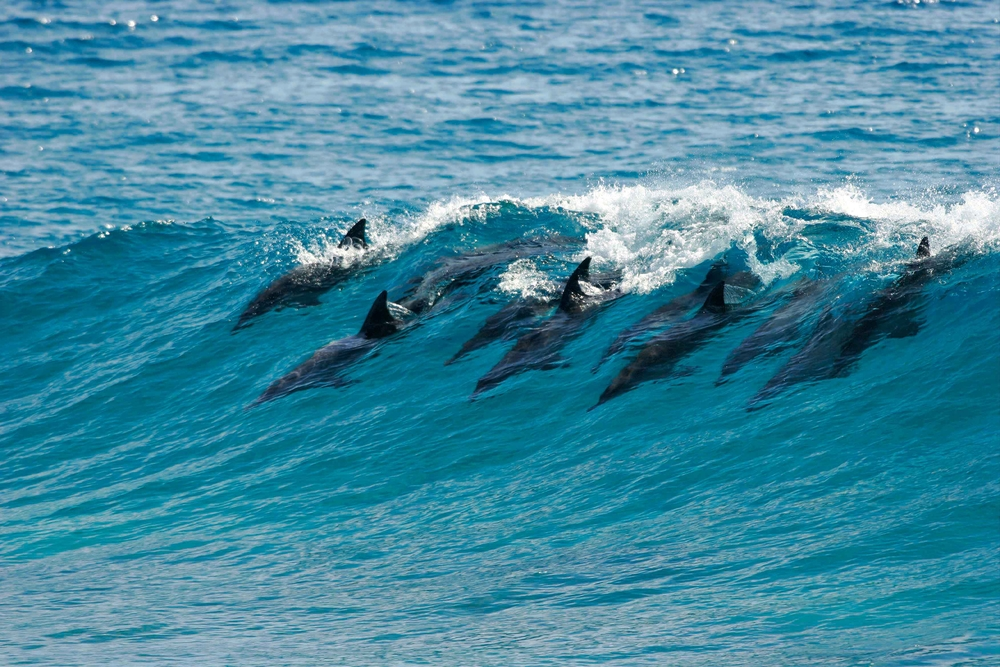 dolphins catch a wave and surf it in Mozambique