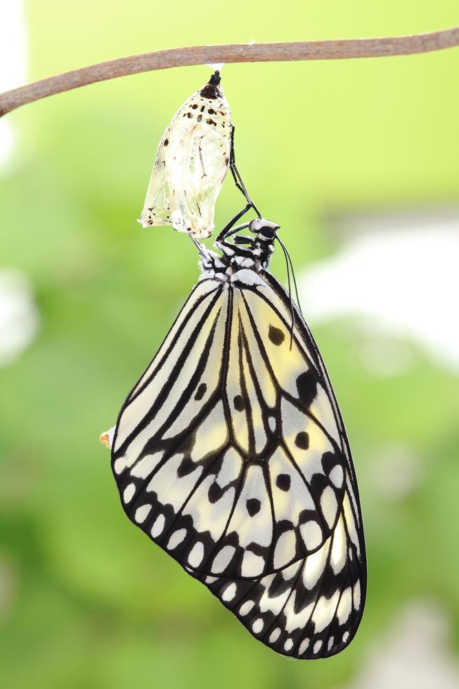 farfalla8 malesia