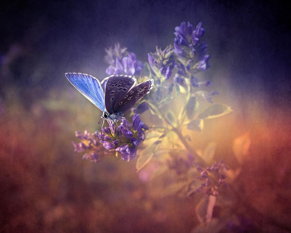 farfalla8