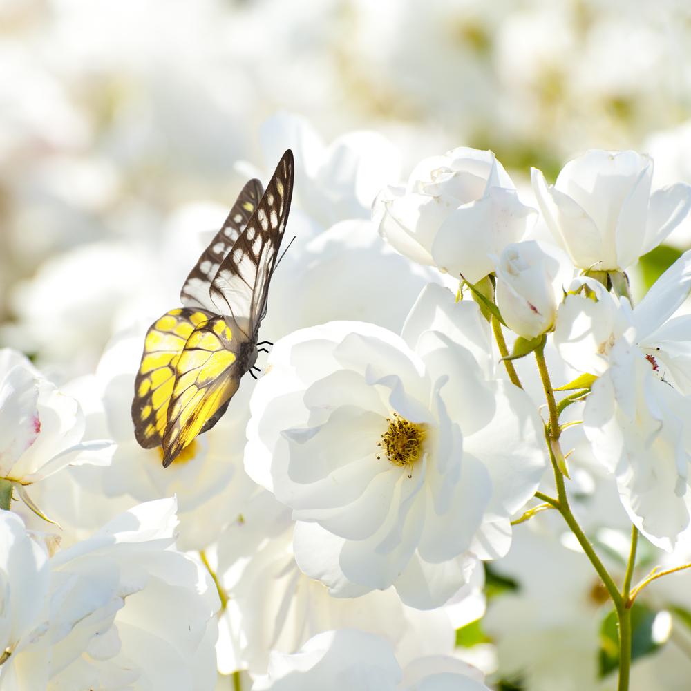 farfalla9 fiore