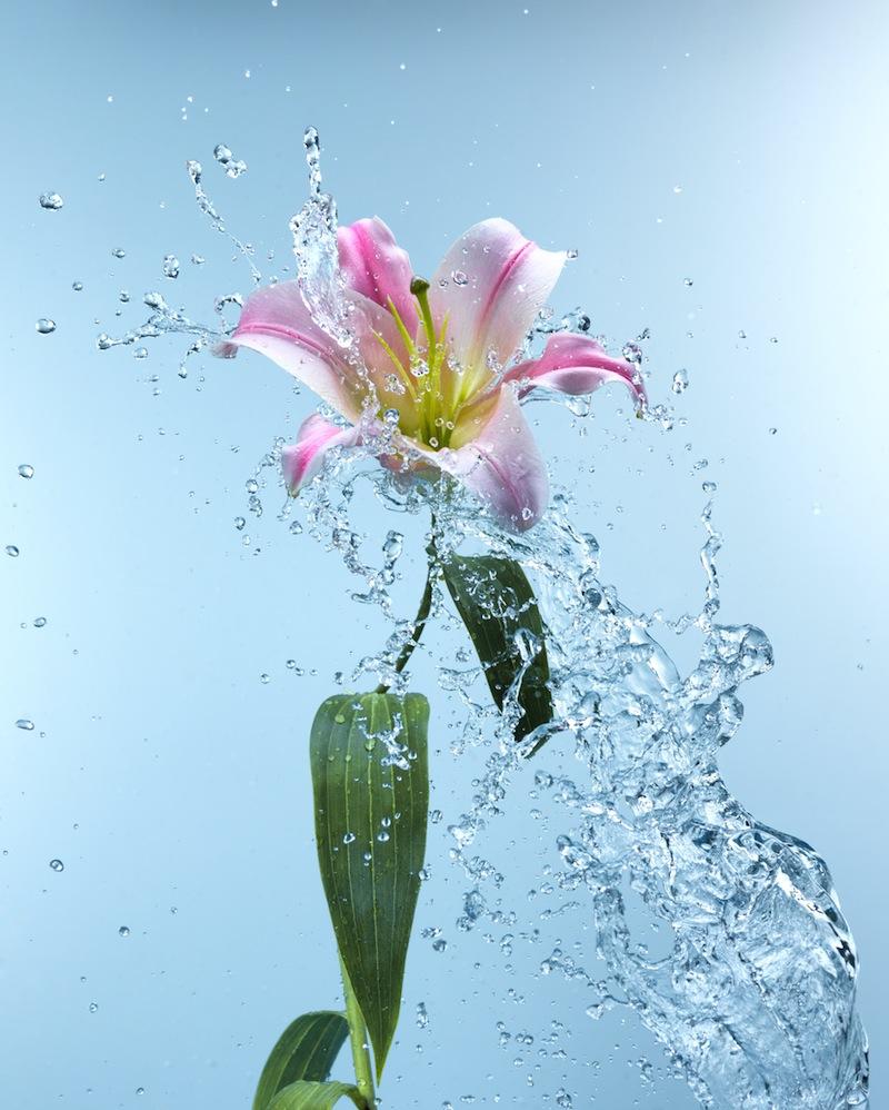 fiore con acqoa rosa