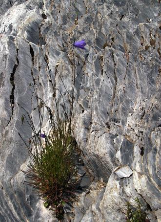 fiore roccia