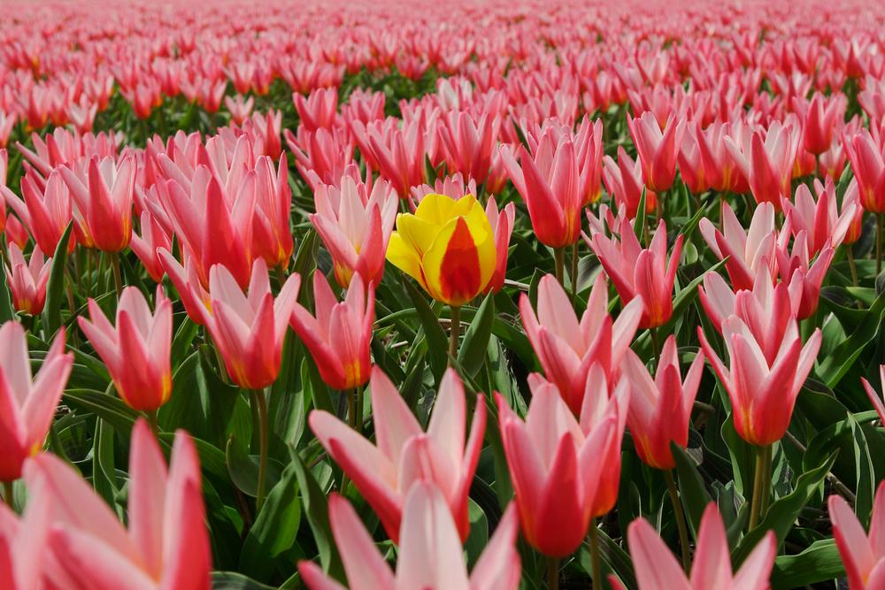 fiore rosa fra tanti tulipano