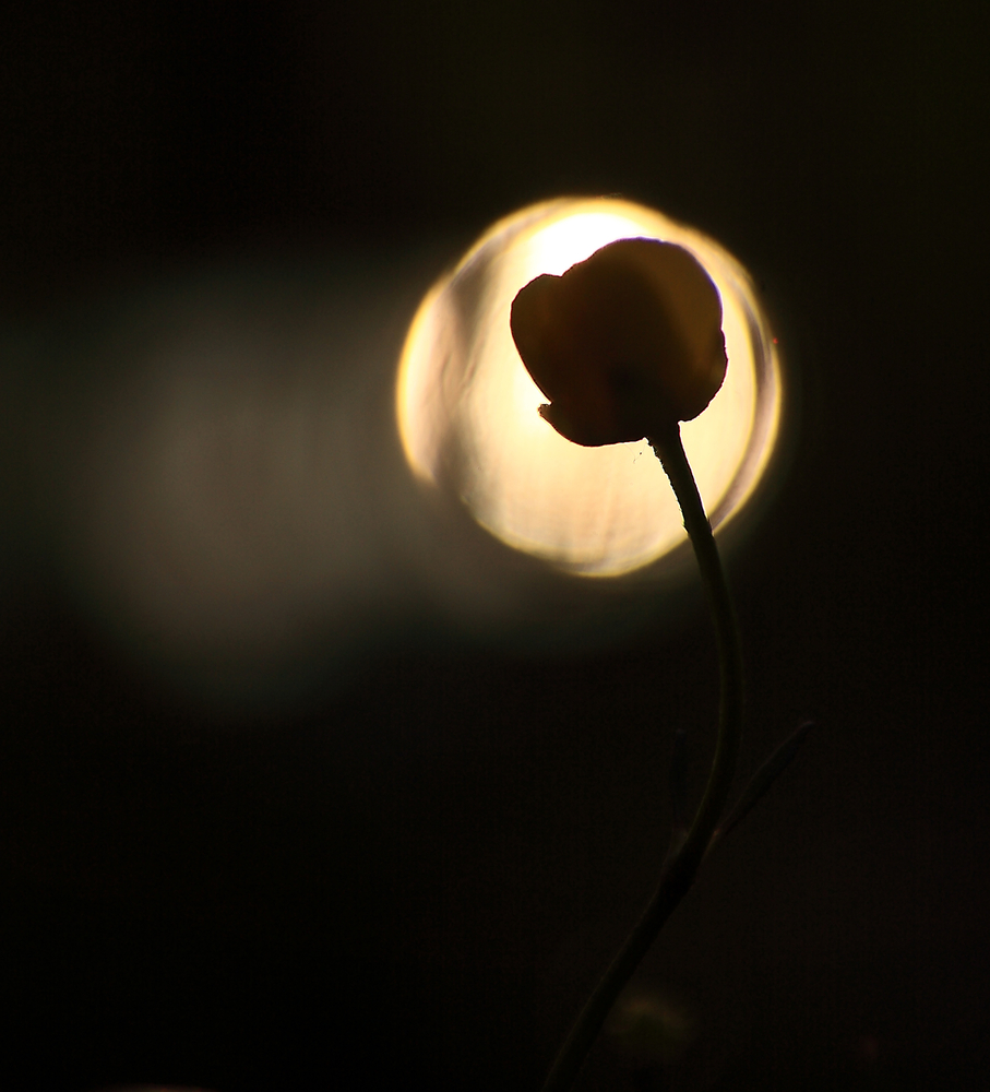 fiore sole9