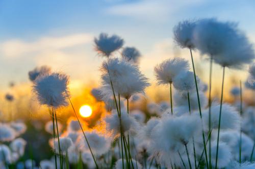 fiori cotone