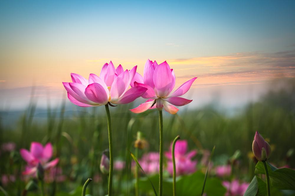 fiori loto tramonto