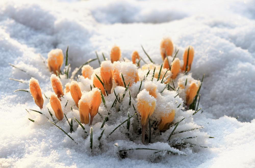 fiori monte bianco