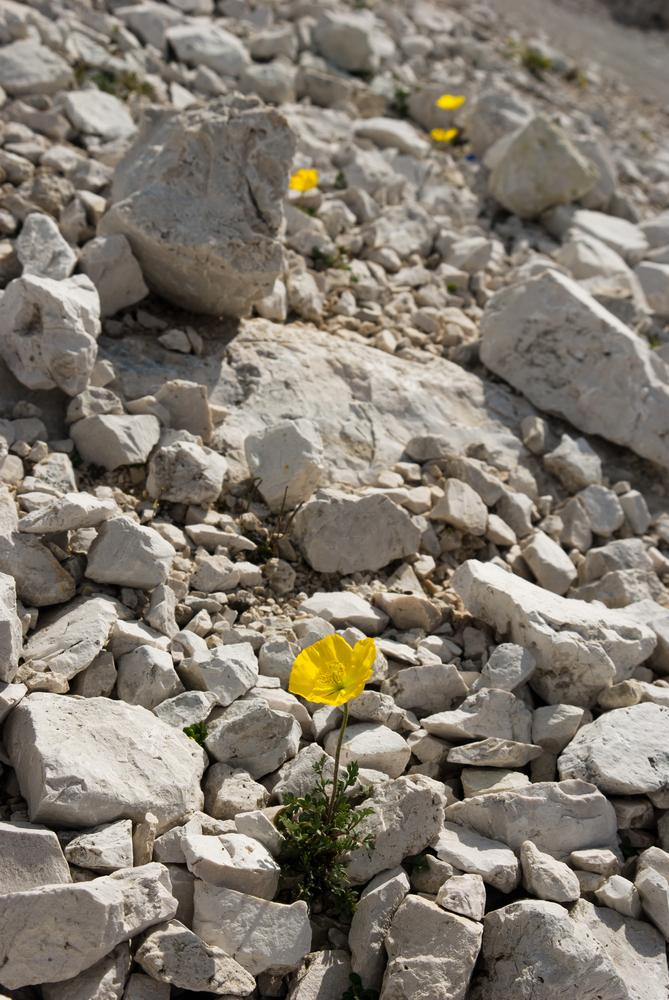 fiori roccia