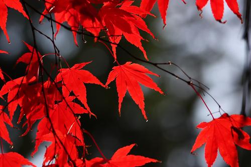 foglie canada