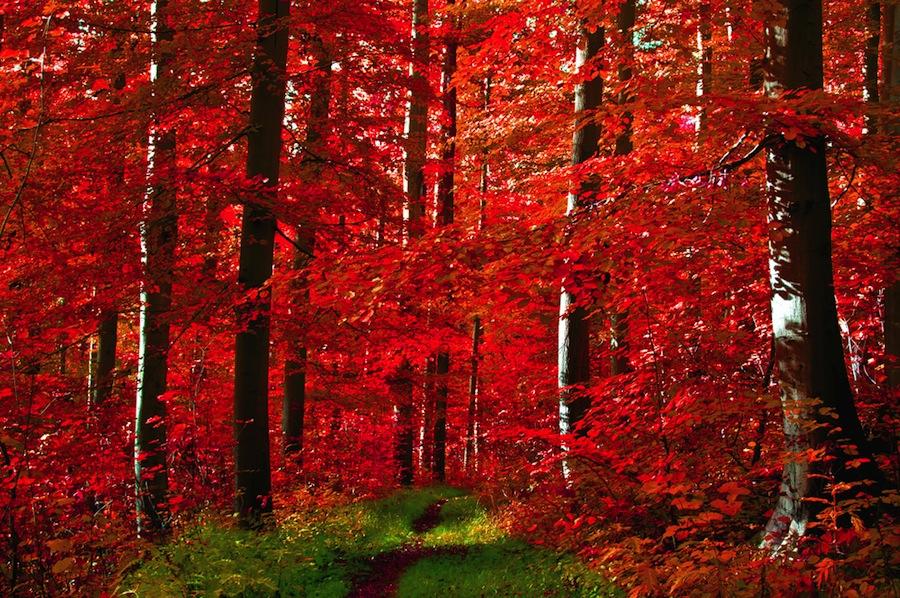 foresta nera alberi rossi