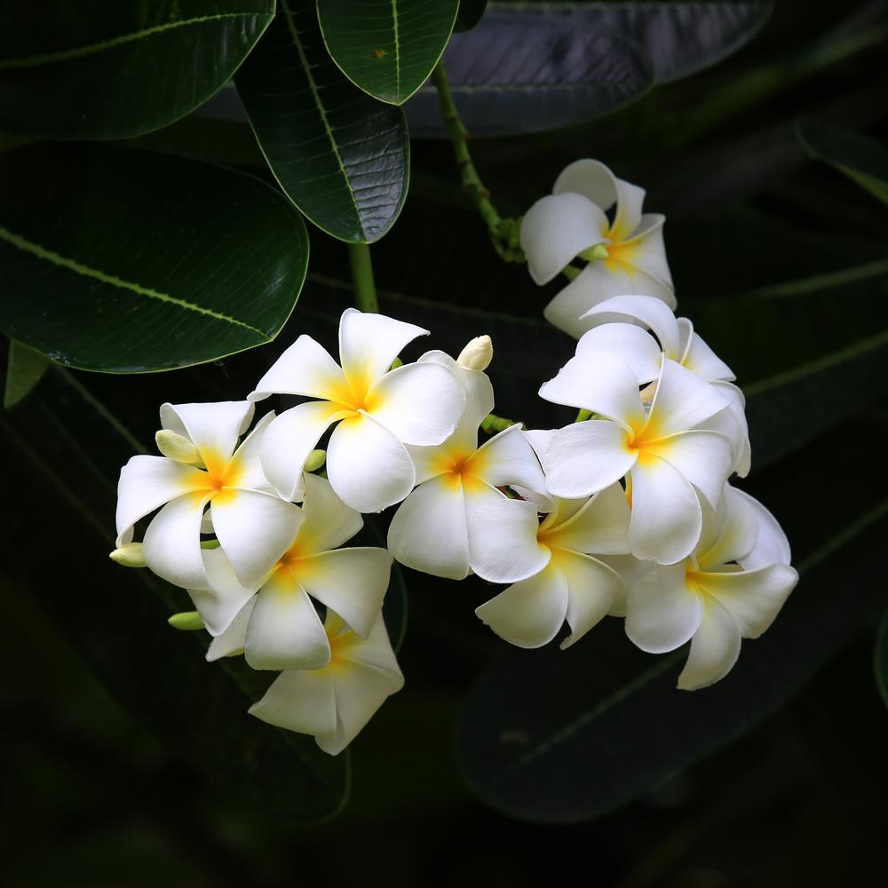 frangipani fiore fiji