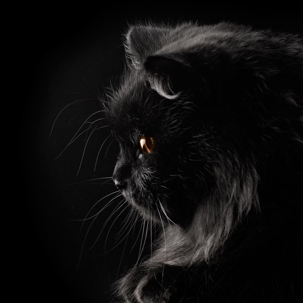 gatto nero iran