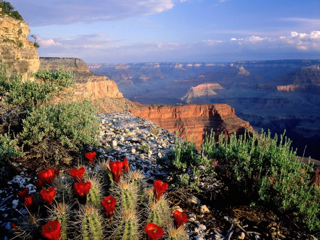 gran canion_flowers_plants_grand_canyon_cactus_cactus_flowers_1600x1200_wallpaper_Wallpaper_2560x1920_www