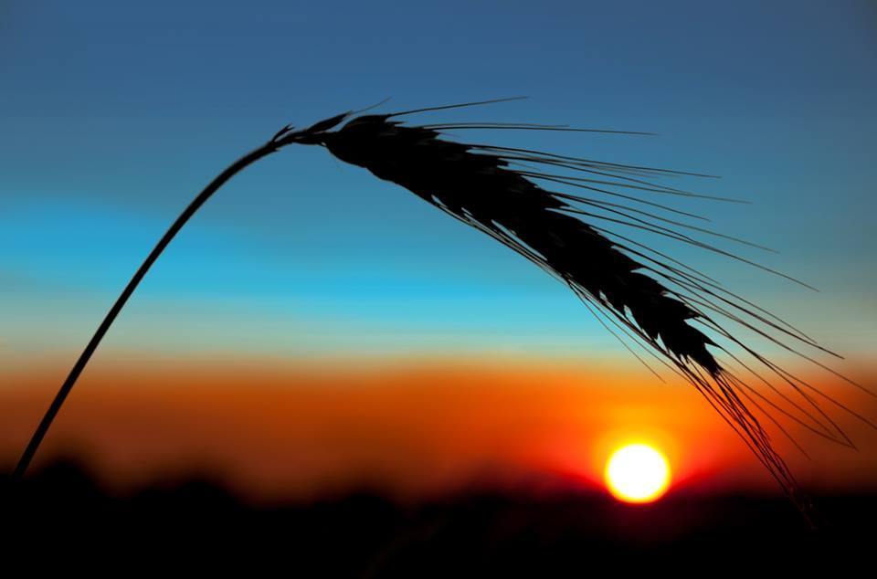 grano tramonto