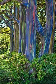 hawaii albero eucalipto