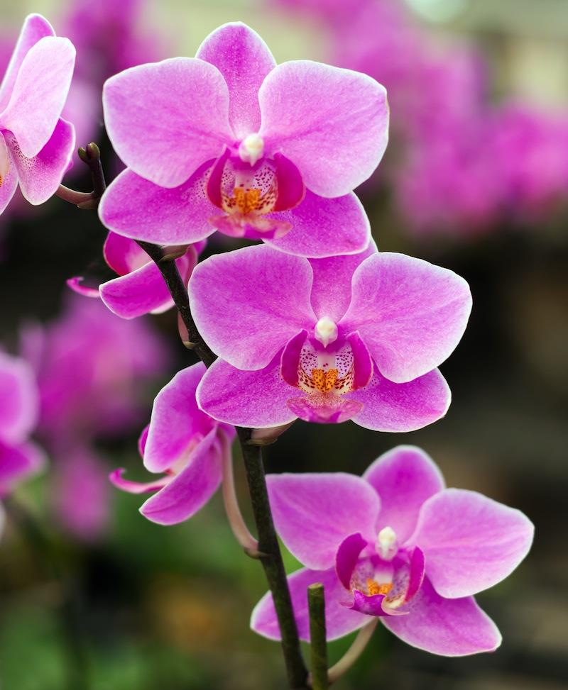 ink Thai royal orchid jpg