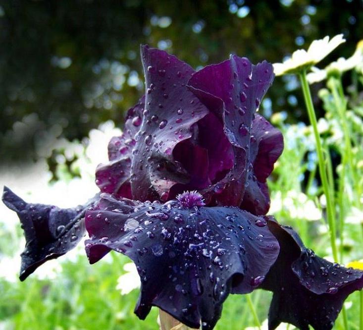 iris nero2