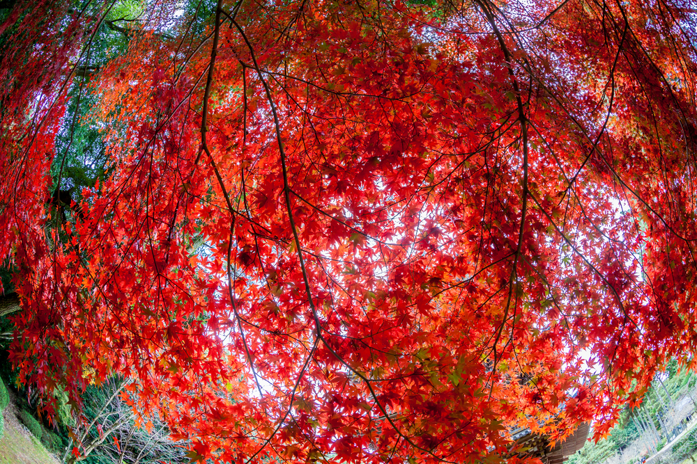 momiji tree in kyoto japan Stock Photo
