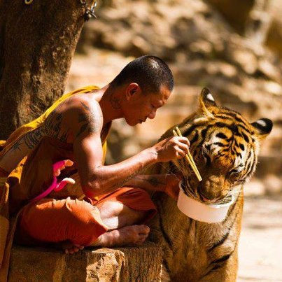monaco buddista condivide la propria cena con una tigre