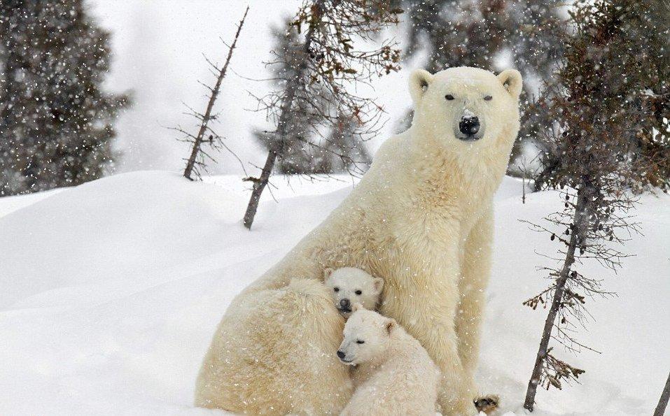 orso polare canada