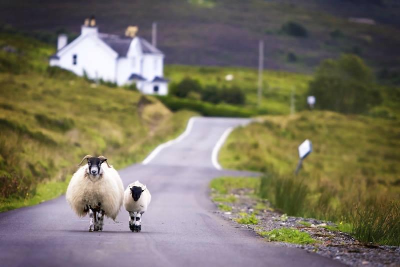 pecore scozia