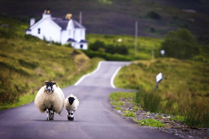 pecore scozzesi