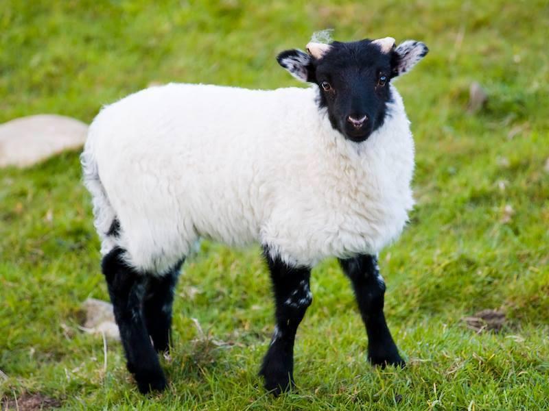 pecorella irlanda