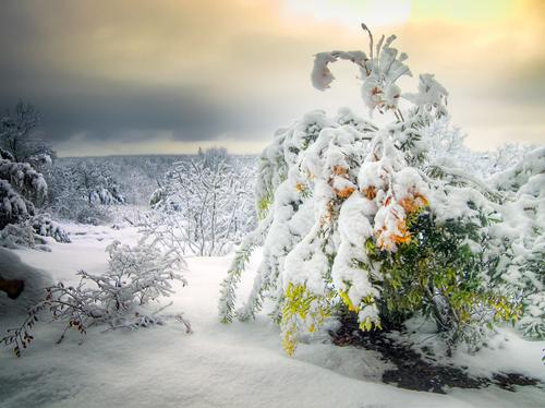 pianta neve verde lapponia