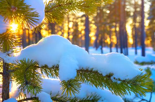 pino con neve