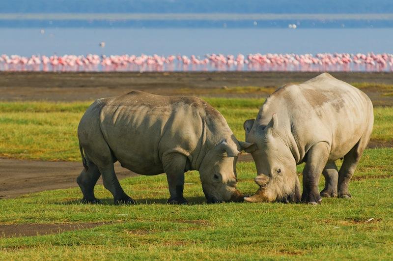 rhinos in lake nakuru national park kenya