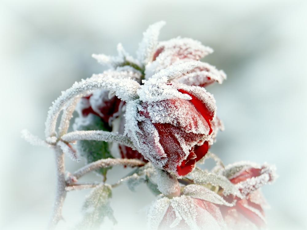 rosa brina