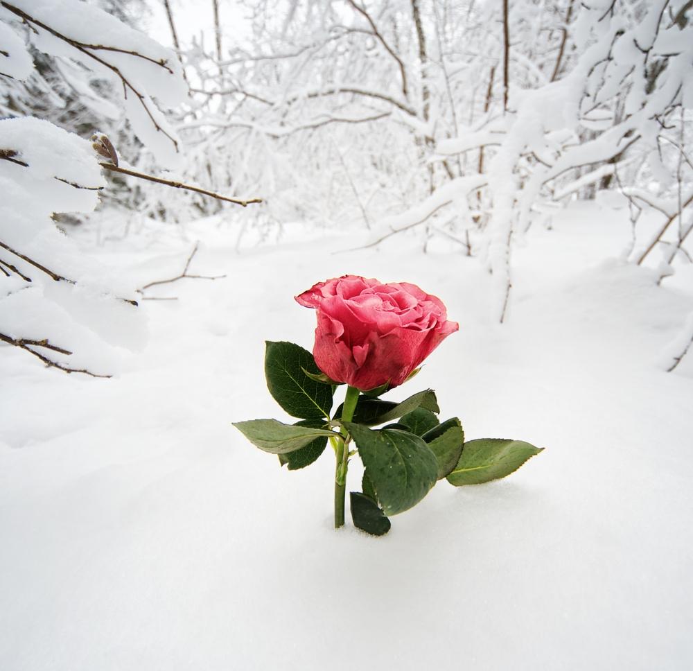 rosa neve