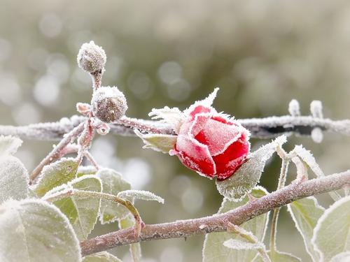 rosa neve9