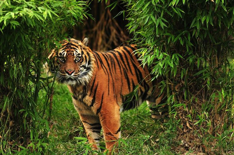 safari in Malesia tigre