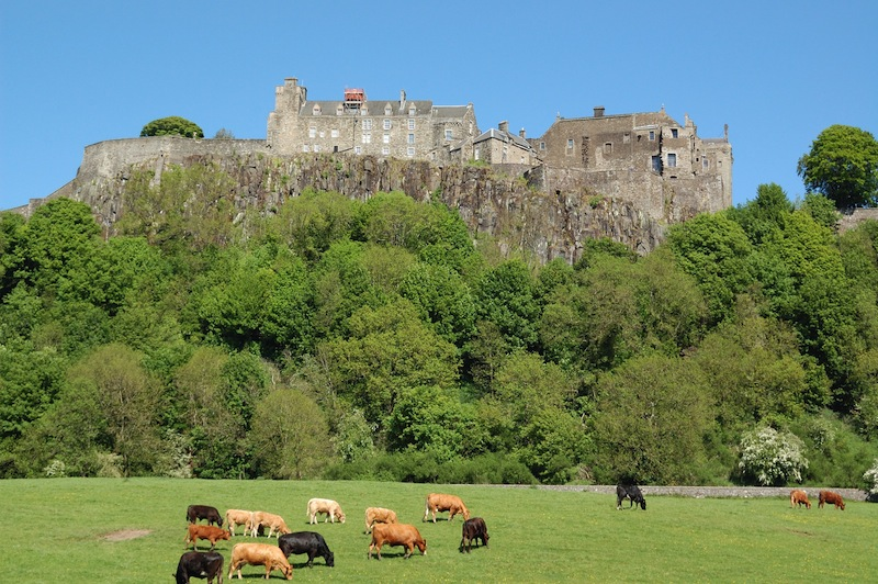 stirling castle with field of cattle