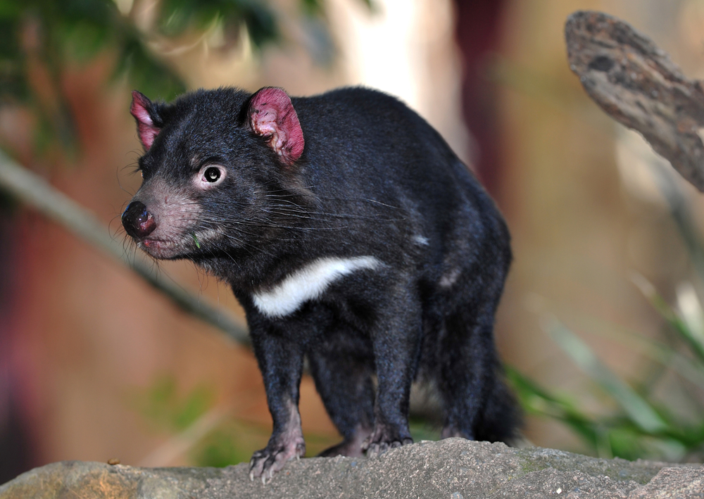 tasmanian devil close up full frame australia exotic endangered mammal  marsupial