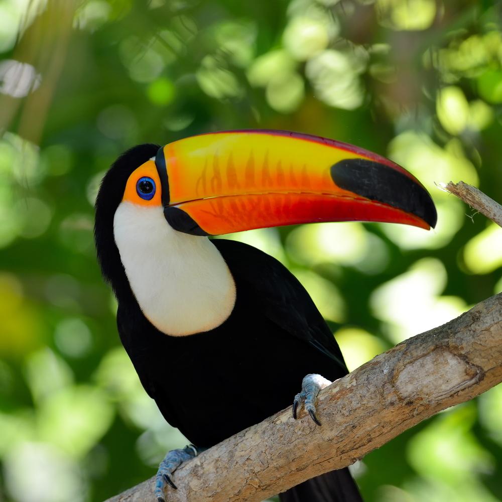 toucan outdoor Ramphastos sulphuratusbrasi