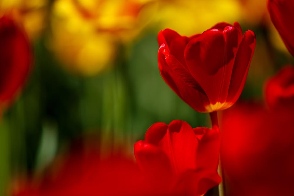 tulipani iran