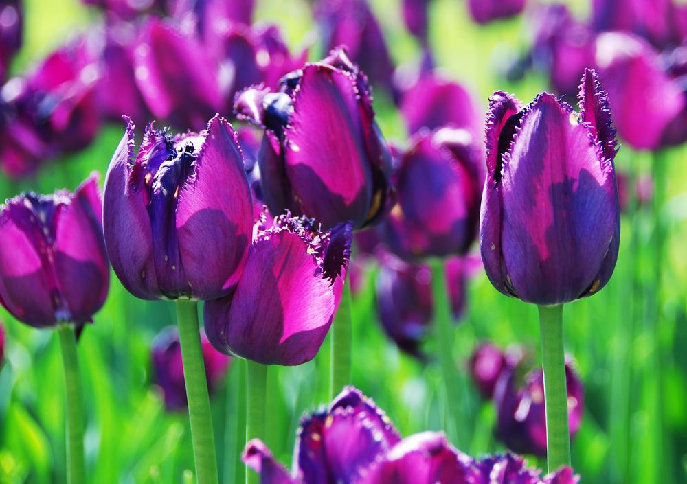 tulipani viola2