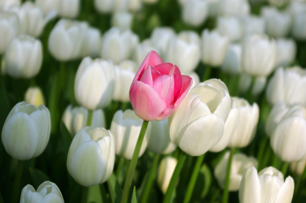 tulipano rosa fra tanti