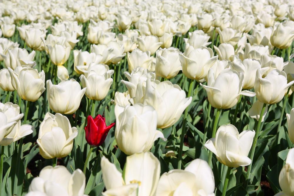 tulipano rosso fra bianchi