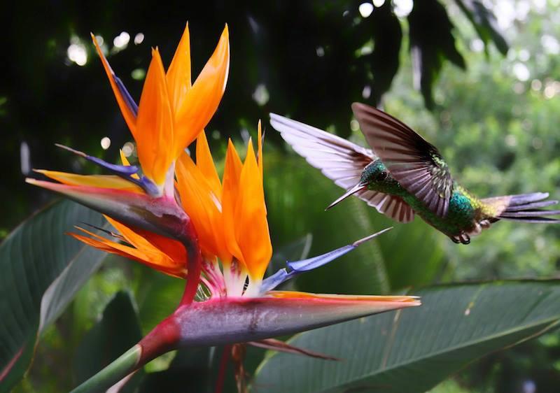 uccellino brasile