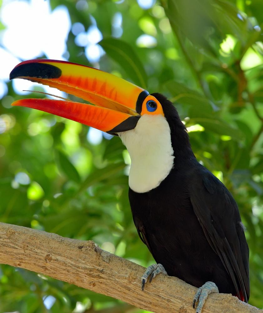 uccello brasil3