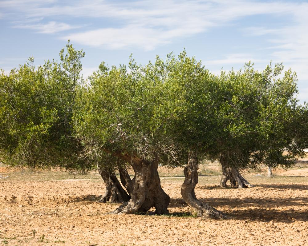 ulivi djerba tunisia