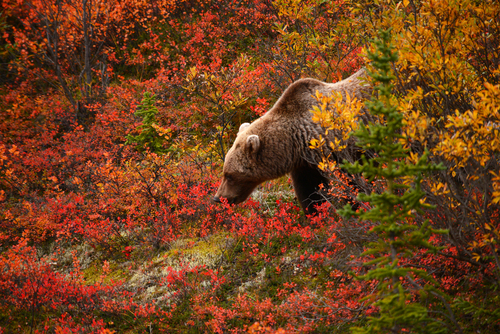 wild grizzly bear looking for food in autumn at alaska before snow is coming